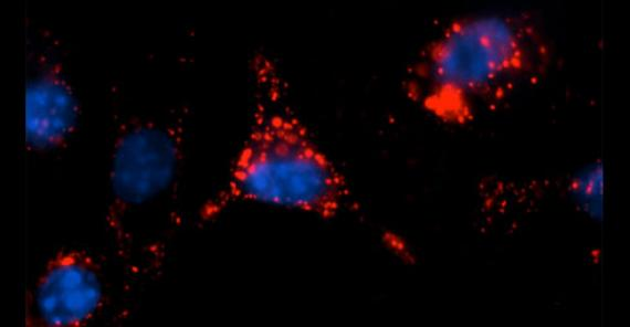 A peptide that targets dendritic cells delivers quantum dots intracellularly.